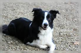 australian shepherd or border collie australian shepherd border collie mix amy ist ein mix aus border