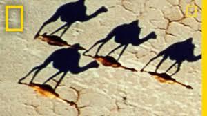 surprising photo camel illusion national geographic youtube