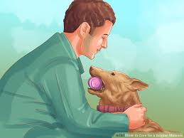 belgian shepherd how to train how to care for a belgian malinois with pictures wikihow
