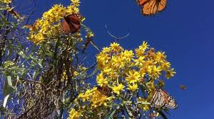 Monarch Migration Map Monarch Butterflies Mexico 2016 Youtube