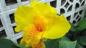 cana lilly flowers of casa sueños mar