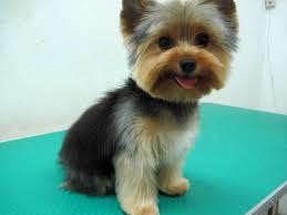 haircuts for yorkie dogs females yorkie haircuts for males excellence hairstyles gallery yorkies