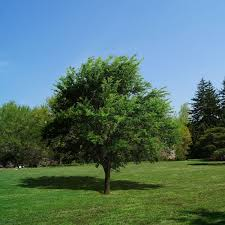 shade trees for sale nature nursery