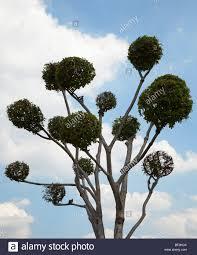 ornamental trees topiary at the grand palace in bangkok