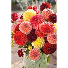 shop garden state bulb 4 pack mixed pompon dahlia l3480e at