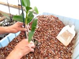 orchid plants how to plant an orchid