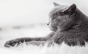 sleeping on short hair young cute cat sleeping on cosy white fur the british shorthair
