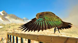 parrots national geographic new zealand railing birds 1920x1080