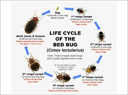 Home Remedies For Getting Rid Of Bed Bugs Nj Bed Bugs Bedbug Facts