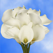 cala lilies beautiful white open cut calla lilies global