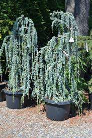 Decorative Trees For The Home by Best 10 Weeping Trees Ideas On Pinterest Landscaping Trees