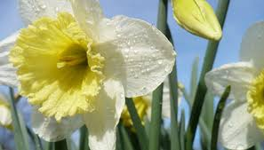 how to plant daffodil bulbs in february garden guides