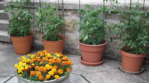 Flower Boxes That Thrive In by How To Grow Tomatoes In Pots Bonnie Plants