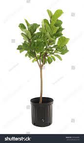 potted ficus larata fiddle leaf fig stock photo 359344898