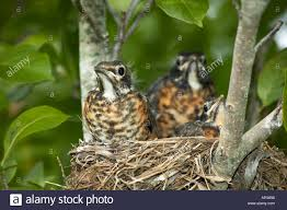 Tennessee birds images Three baby robins in a nest baby birds tennessee american robin jpg