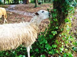 shady brook sheep a natural alternative for animals for people