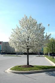 ornamental pear pyrus calleryana jaczam in salt lake city