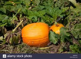 pumpkin growing on vine stock photos u0026 pumpkin growing on vine