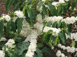 native irish plants coffea wikipedia