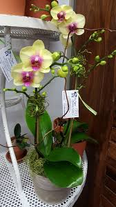 blue pagoda u0026 evolution orchids llc wedding flowers orchid sales