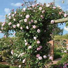 Patio Tree Rose by Thornless Roses David Austin Roses