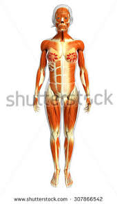 Female Muscles Anatomy 3d Digital Render Female Figure Muscle Stock Illustration