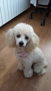 hair styles at the shoodle in animal crossing new leaf 94 best toy poodle images on pinterest poodles doggies and pets