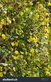spring climbing plant yellow flowers stock photo 2913548