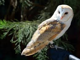 Scientific Name Of Barn Owl Barn Owl Cascadesraptorcenter Org