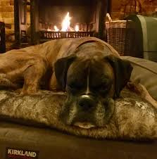 boxer dog t shirts uk home dog boarding and holidays at the new forest dog hotel