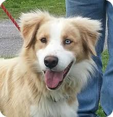 australian shepherd boxer mix cody adopted dog tia portland me australian shepherd