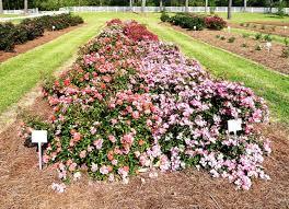drift roses drift roses offer new landscape options lsu agcenter
