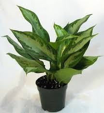 Easy Care Indoor Plants Chinese Evergreen Are Low Light Easy Care Houseplants That Clean