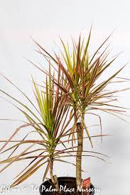 dracaena dracaena marginata colourama 20cm the palm place nursery