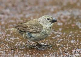 small tree finch introduction neotropical birds