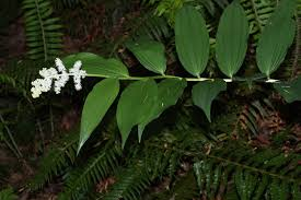 oregon native plants file maianthemum racemosum 0972 jpg wikimedia commons