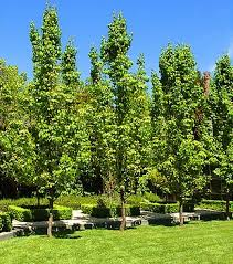 capital ornamental pear 12 pot economy grade australia