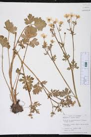 florida native plant society plant stand drosera intermedia with bloom north carolina native