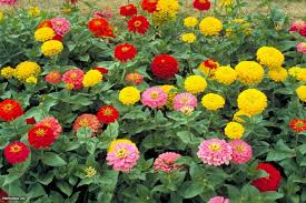zinnia flowers providing garden color spring frost hgtv