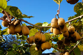 growing kiwi vines in your home garden