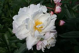 Peony Flowers by Peony Wikipedia
