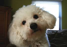 bichon frise breed standard bichon frise dogs and puppies wiki fandom powered by wikia