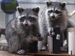 baby raccoons u0027 hard luck story ends with soft landing sfgate
