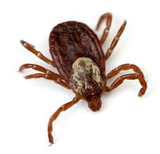 Ticks In Backyard Tick And Flea Control San Antonio And The Hill Country Texas