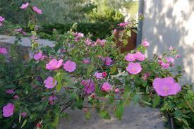 austin texas native plants rock rose celebrate texas native plant week oct 14 20