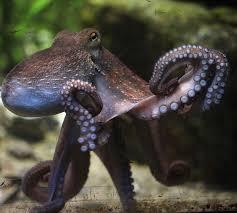 the weird world of the octopus