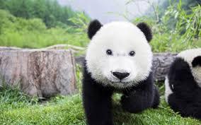 Panda Mascara Meme - panda eye makeup meme 4k wallpapers