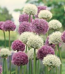 allium flowers pin by on flowers flowers