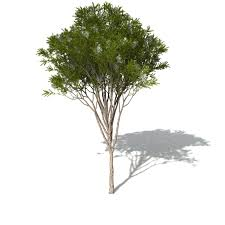 xfrog trees australian tea tree