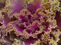 ornamental fringed mix kale baker creek heirloom seeds